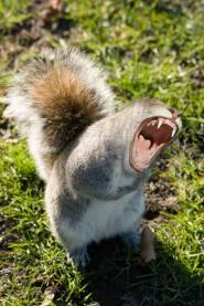 angry-squirrel